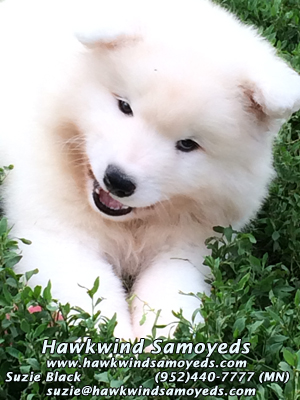 Business card for Hawkwinds Samoyeds