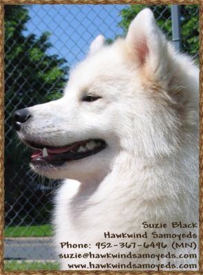 bBsiness card for Hawkwinds Samoyeds