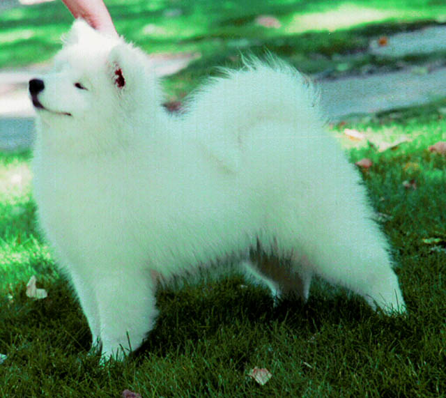 mouse over on the image of the Samoyed puppy